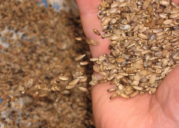 Семя расторопши
